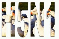 Ptasia grypa H5N1-birds i gąski w writing wkładającym zdjęcia royalty free