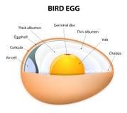 Ptasia jajeczna struktura ilustracja wektor