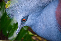 ptasia korona egzotyczny gołębi Victoria Zdjęcie Royalty Free