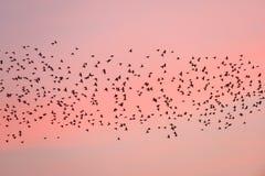 Ptasia migracja przy zmierzchem zdjęcie royalty free
