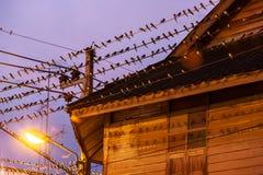 Ptasia migracja przy zmierzchem, kierdlem stajni dymówka na i okapami drewniany dom, druty Betong miasto, Yala, Południowy Tajlan zdjęcie stock