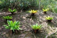 ptasia paproci gniazdeczka roślina s Obrazy Royalty Free
