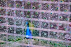 Ptasia pawia samiec Fotografia Royalty Free