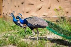 Ptasia pawia samiec Fotografia Stock