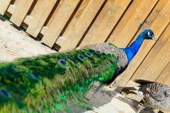 Ptasia pawia samiec Zdjęcia Stock