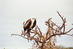 ptasia pisklęca fregata Galapagos Zdjęcie Stock