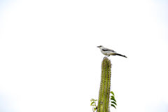 Ptasia pozycja na kaktusie zdjęcia stock