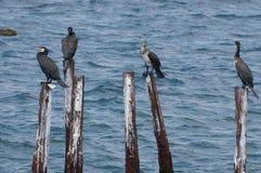 Ptasia rodzina wielcy kormorany obraz stock
