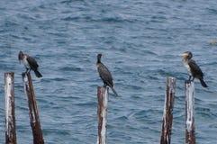 Ptasia rodzina wielcy kormorany fotografia stock