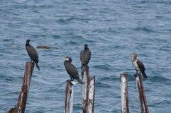 Ptasia rodzina wielcy kormorany zdjęcie stock