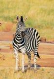 ptasia zebra Obrazy Royalty Free