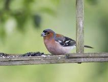Ptasia zięba Męscy ptaki w zakończeniu Zdjęcie Stock