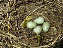 ptasich jajek gniazdowy drozd Obraz Royalty Free