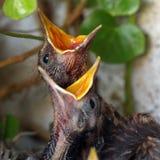 ptasich ptaków gniazdowi potomstwa Zdjęcie Stock