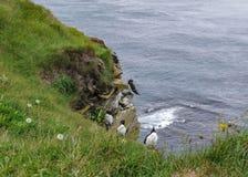Ptasie falezy przy LÃ ¡ trabjarg, westernmost punkt Iceland zdjęcia royalty free