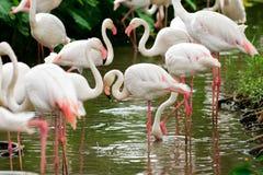 Ptasie flaming wielokrotności kombinacje obrazy royalty free