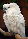 ptasiego kakadu Moluccan papuzi biel Zdjęcie Royalty Free
