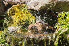 ptasiego mistle mały drozd Obraz Royalty Free
