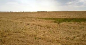 Ptasiego oka widoku żółty pszeniczny pole przeciw popielatemu chmurnemu niebu zbiory wideo