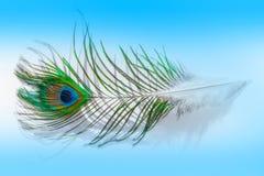 Ptasiego piórka pawi zbliżenie, makro- Zdjęcie Royalty Free