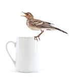 ptasiej filiżanki przytulona pliszka Obraz Stock