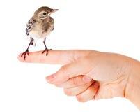 ptasiej ręki przytulona pliszka Fotografia Royalty Free