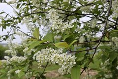 Ptasiej wiśni gałąź Prunus padus z białymi kwiatami Prunus, hackberry, hagberry lub Mayday drzewni kwiaty, fotografia stock