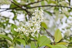 Ptasiej wiśni gałąź Prunus padus z białymi kwiatami Prunus, hackberry, hagberry lub Mayday drzewni kwiaty, zdjęcie royalty free