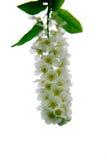 Ptasiej wiśni kwiaty zdjęcie royalty free