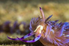 Pteraeolidia ianthina, Nudibranch, Sea Slug Stock Image