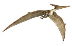 Pteranodon. 3D digital render of a prehistoric flying reptile Pteranodon isolated on white background Royalty Free Stock Photography