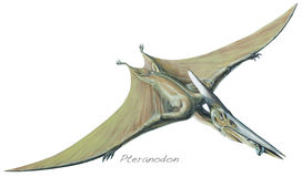 Pteranodon. One of the largest ever flying reptiles, with a wingspan of over 26ft 8m. About 18ft 5-5m high and 50ft 15m long. Cretaceous, about 90 royalty free illustration