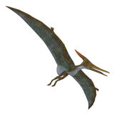 Pteranodon Reptile Soaring. Pteranodon was a flying carnivorous reptile that lived in North America in the Cretaceous Period Royalty Free Stock Image