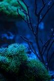 Pterapogon kauderni,斑马apogon, Banggai主教鱼 Clavularia 礁石坦克海军陆战队员水族馆 充分蓝色水族馆植物 免版税库存图片