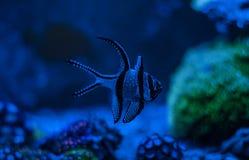 Pterapogon kauderni,斑马apogon, Banggai主教鱼 Clavularia 礁石坦克海军陆战队员水族馆 充分蓝色水族馆植物 库存图片