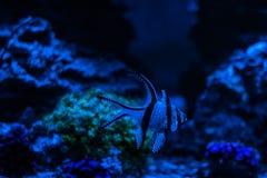 Pterapogon kauderni,斑马apogon, Banggai主教鱼 Clavularia 礁石坦克海军陆战队员水族馆 充分蓝色水族馆植物 库存照片