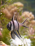Pterapogon kauderni. Popular fish for sea aquarium Royalty Free Stock Images