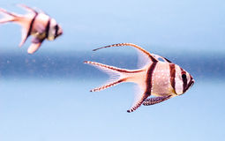 Pterapogon kauderni- The Banggai Cardinalfish Royalty Free Stock Image