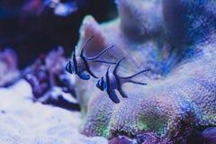 Pterapogon kauderni, Koumans. Stock Photos