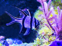 Pterapogon kauderni Royalty Free Stock Image