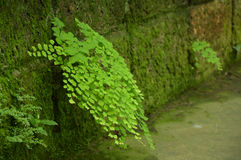 Pteridaceae Royalty-vrije Stock Foto's