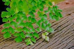 Pteridaceae Stock Image