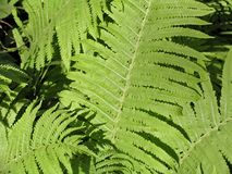 Pteridium Obrazy Royalty Free