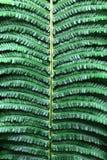 Pteridium aquilinum Stockbilder
