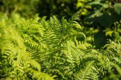 Pteridium aquilinum, Adlerfarn, Bremse oder gemeiner Adlerfarn Lizenzfreies Stockfoto