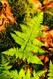 Pteridium aquilinum leaf background and wallpapers in top high quality prints stock images