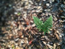 Pteridium aquilinum var.latiusculum growing from the withered leaves Stock Photography