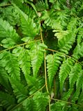 Pteridophyta fern​ green​ leaves​ plantae​ royalty free stock photography