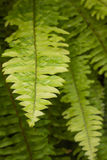 Pteridophyta Stock Photo