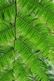 Pteridophyte salvaje Imagenes de archivo